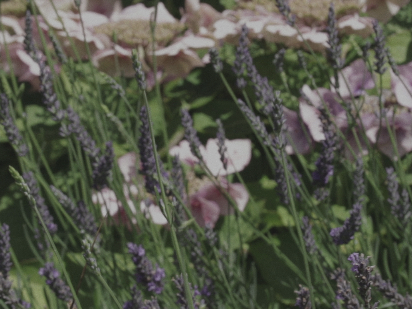 Still from the poetry film Morning. It's a close-up of flowers, including lavender.