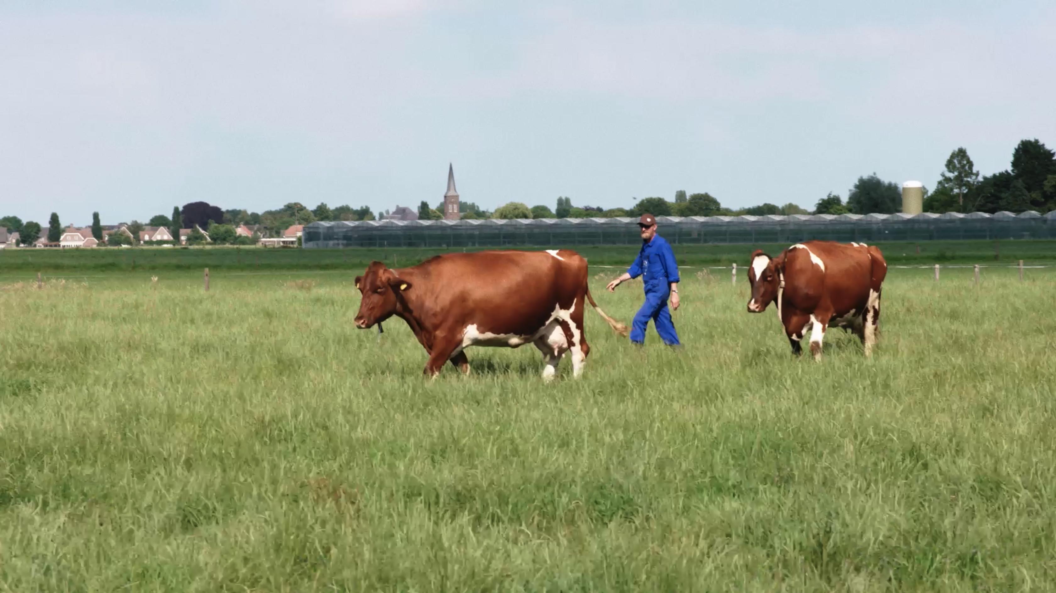 Still from 'Wat we niet wisten over koeien'. Ben is walking across the field with his two cows.